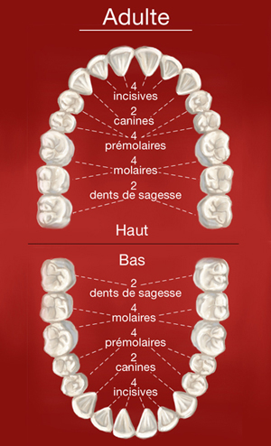 Dents de l'adulte